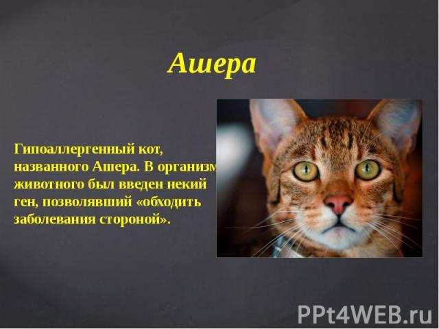 Ашера Гипоаллергенный кот, названного Ашера. В организм животного был введен некий ген, позволявший «обходить заболевания стороной».