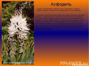 Асфодель– цветок, связываемый с образом Аида и Персефоны, ставший символом смерт