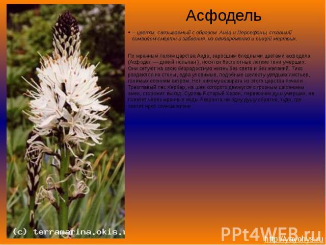 Асфодель– цветок, связываемый с образом Аида и Персефоны, ставший символом смерти и забвения, но одновременно и пищей мертвых. По мрачным полям царства Аида, заросшим бледными цветами асфодела (Асфодел — дикий тюльпан ), носятся бесплотные легкие те…