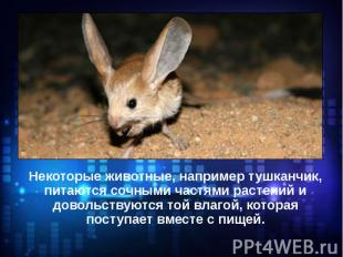 Некоторые животные, например тушканчик, питаются сочными частями растений и дово