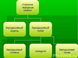 Строение зародыша семени Зародышевый корень Зародышевый побег Зародышевый стебел
