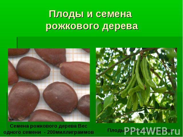 Плоды и семена рожкового дерева Семена рожкового дерева Вес одного семени - 200миллиграммов Плоды рожкового дерева
