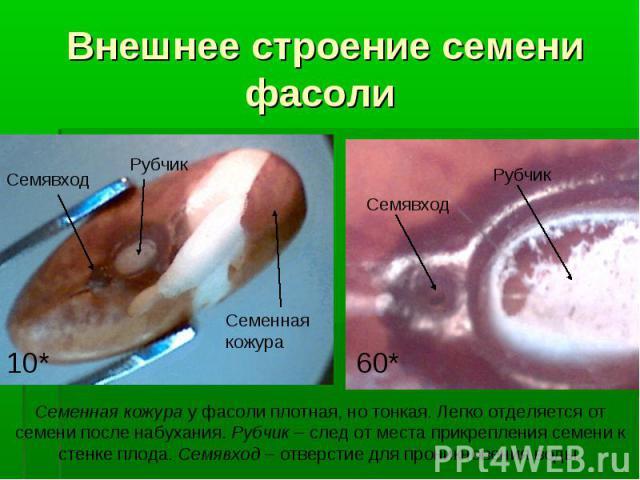 Внешнее строение семени фасоли Семенная кожура Семявход Рубчик 10* Семявход Рубчик 60* Семенная кожура у фасоли плотная, но тонкая. Легко отделяется от семени после набухания. Рубчик – след от места прикрепления семени к стенке плода. Семявход – отв…