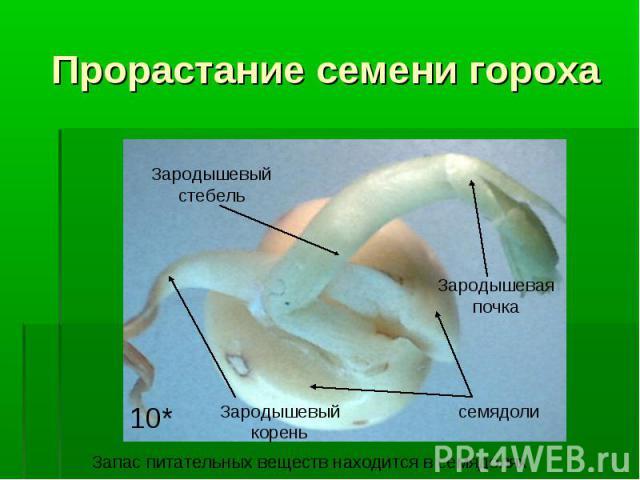 Прорастание семени гороха семядолиЗародышевый корень Зародышевый стебель Зародышевая почка 10* Запас питательных веществ находится в семядолях