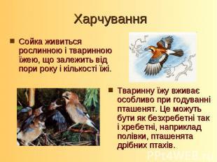 Сойка живиться рослинною і тваринною їжею, що залежить від пори року і кількості