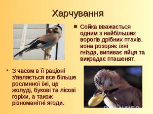Сойка вважається одним з найбільших ворогів дрібних птахів, вона розоряє їхні гн