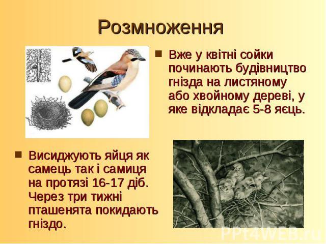 Висиджують яйця як самець так і самиця на протязі 16-17 діб. Через три тижні пташенята покидають гніздо.