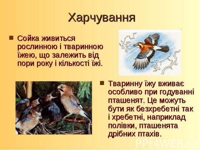 Сойка живиться рослинною і тваринною їжею, що залежить від пори року і кількості їжі. Сойка живиться рослинною і тваринною їжею, що залежить від пори року і кількості їжі.