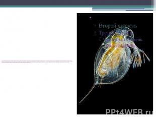 Основной пищей для дафний служат бактерии и одноклеточные водоросли. Виды, котор