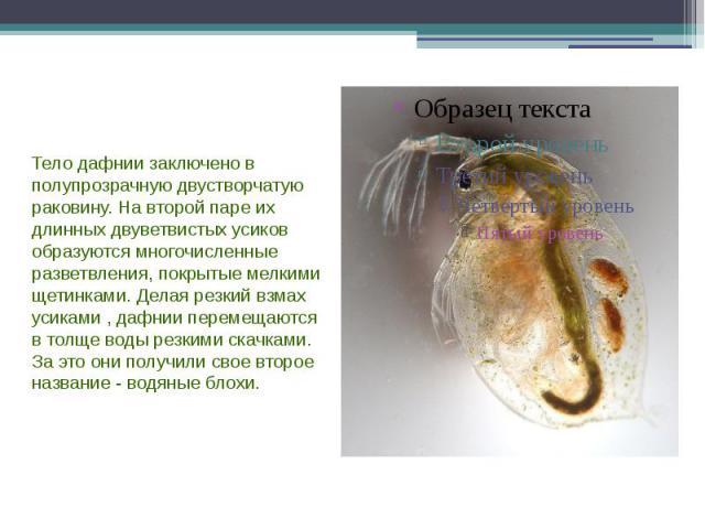 Тело дафнии заключено в полупрозрачную двустворчатую раковину. На второй паре их длинных двуветвистых усиков образуются многочисленные разветвления, покрытые мелкими щетинками. Делая резкий взмах усиками , дафнии перемещаются в толще воды резкими ск…