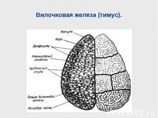 Вилочковая железа (тимус).