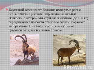 Каменный козел имеет большие изогнутые рога и особые мягкие роговые подушечки на