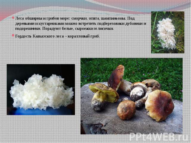 Леса обширны и грибов море: сморчки, опята, шампиньоны. Под деревьями и кустарниками можно встретить подберезовики дубовики и подорешники. Порадуют белые, сыроежки и лисички. Гордость Кавказского леса – коралловый гриб.