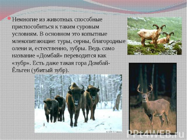 Немногие из животных способные приспособиться к таким суровым условиям. В основном это копытные млекопитающие: туры, серны, благородные олени и, естественно, зубры. Ведь само название «Домбай» переводится как «зубр». Есть даже такая гора Домбай-Ёльг…