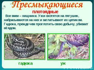Все змеи – хищники. Ужи охотятся на лягушек, набрасываются на них и заглатывают