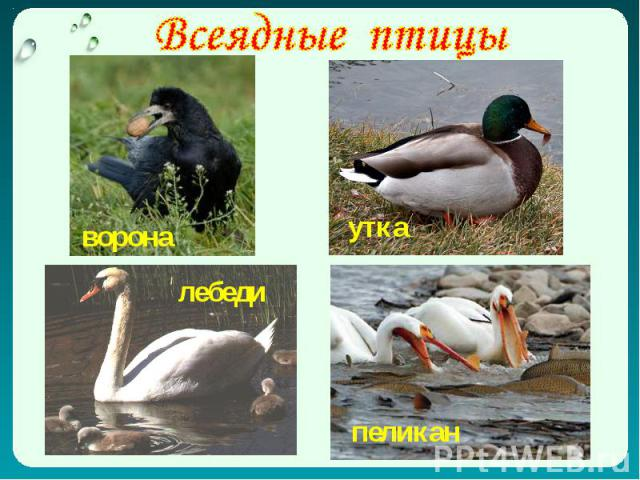 Всеядные птицы