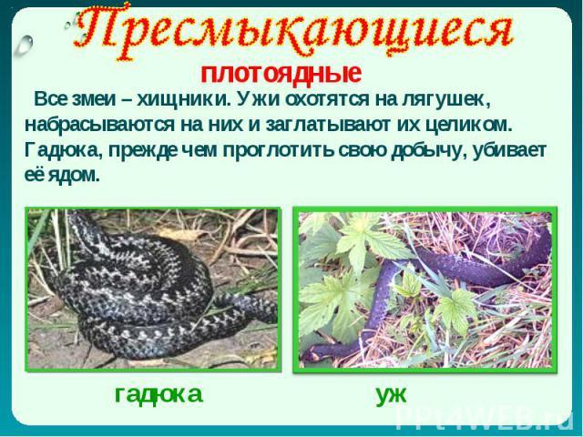 Все змеи – хищники. Ужи охотятся на лягушек, набрасываются на них и заглатывают их целиком. Гадюка, прежде чем проглотить свою добычу, убивает её ядом.