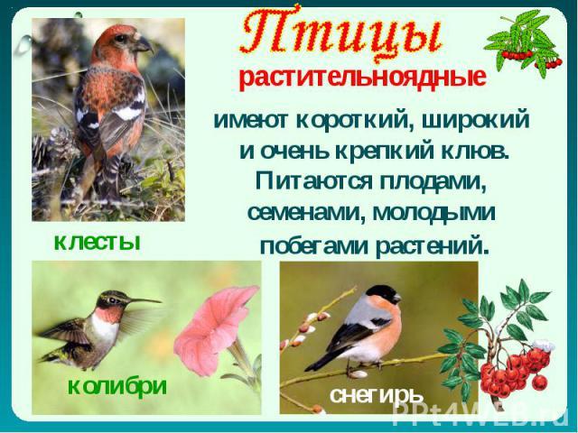 Птицы растительноядные имеют короткий, широкий и очень крепкий клюв. Питаются плодами, семенами, молодыми побегами растений.