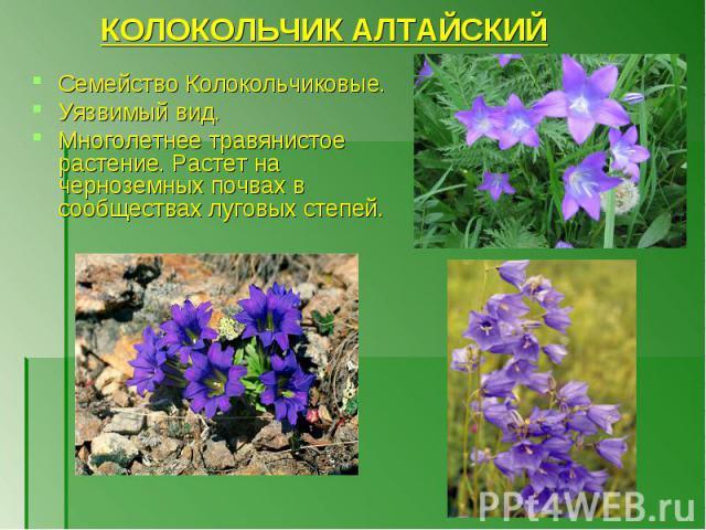 Семейство Колокольчиковые. Семейство Колокольчиковые. Уязвимый вид. Многолетнее травянистое растение. Растет на черноземных почвах в сообществах луговых степей.