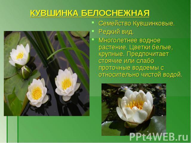 Семейство Кувшинковые. Семейство Кувшинковые. Редкий вид. Многолетнее водное растение. Цветки белые, крупные. Предпочитает стоячие или слабо проточные водоемы с относительно чистой водой.