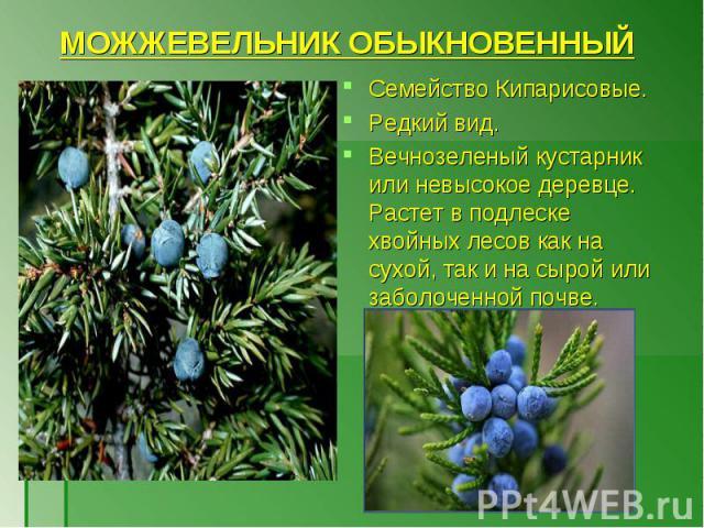 Семейство Кипарисовые. Семейство Кипарисовые. Редкий вид. Вечнозеленый кустарник или невысокое деревце. Растет в подлеске хвойных лесов как на сухой, так и на сырой или заболоченной почве.