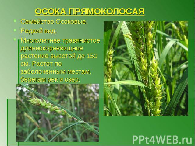 Семейство Осоковые. Семейство Осоковые. Редкий вид. Многолетнее травянистое длиннокорневищное растение высотой до 150 см. Растет по заболоченным местам, берегам рек и озер.