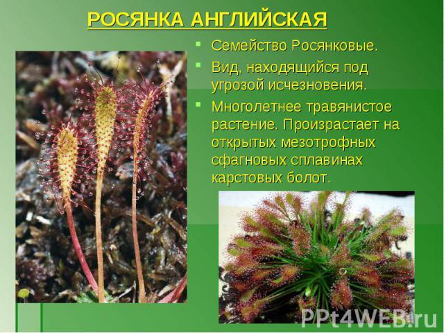 Семейство Росянковые. Семейство Росянковые. Вид, находящийся под угрозой исчезновения. Многолетнее травянистое растение. Произрастает на открытых мезотрофных сфагновых сплавинах карстовых болот.