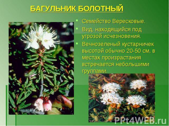 БАГУЛЬНИК БОЛОТНЫЙ Семейство Вересковые. Вид, находящийся под угрозой исчезновения. Вечнозеленый кустарничек высотой обычно 20-50 см, в местах произрастания встречается небольшими группами.
