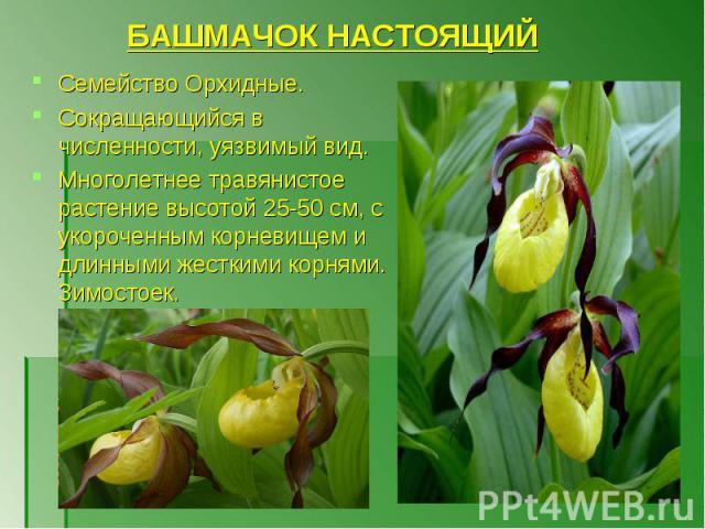 Семейство Орхидные. Сокращающийся в численности, уязвимый вид. Многолетнее травянистое растение высотой 25-50 см, с укороченным корневищем и длинными жесткими корнями. Зимостоек.
