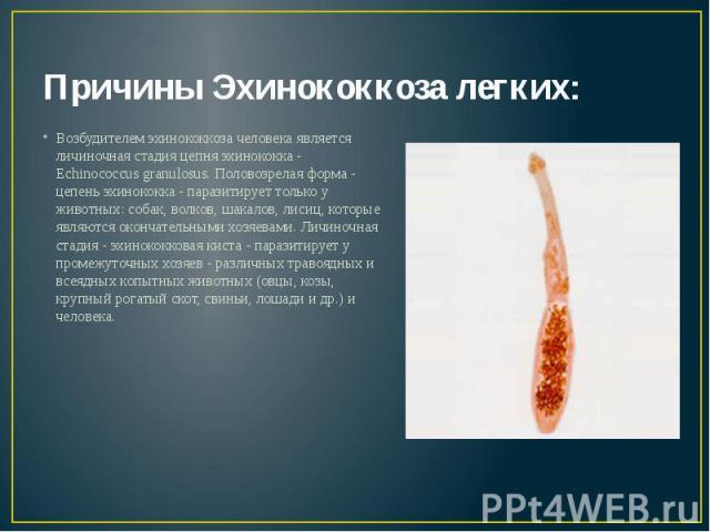 Причины Эхинококкоза легких: Возбудителем эхинококкоза человека является личиночная стадия цепня эхинококка - Echinococcus granulosus. Половозрелая форма - цепень эхинококка - паразитирует только у животных: собак, волков, шакалов, лисиц, которые яв…