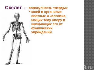 Скелет - совокупность твердых тканей в организме животных и человека, дающих тел