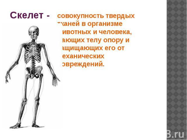 Скелет - совокупность твердых тканей в организме животных и человека, дающих телу опору и защищающих его от механических повреждений.