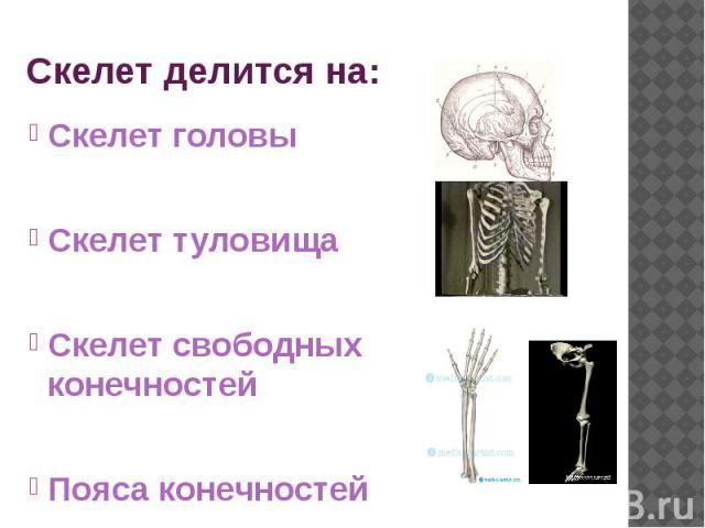 Скелет делится на: Скелет головы Скелет туловища Скелет свободных конечностей Пояса конечностей