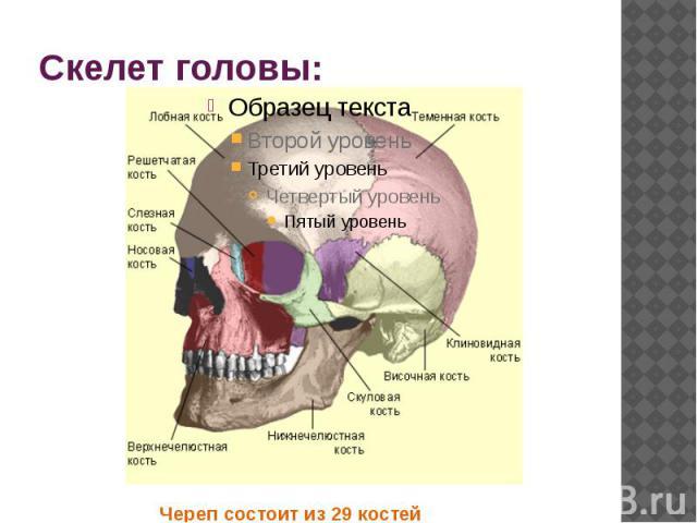 Скелет головы: