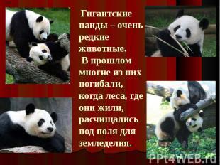 Гигантские панды – очень редкие животные. В прошлом многие из них погибали, когд