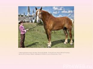 Самая крупная в мире лошадь Большой Джейк - 9-летний конь бельгийской породы выс