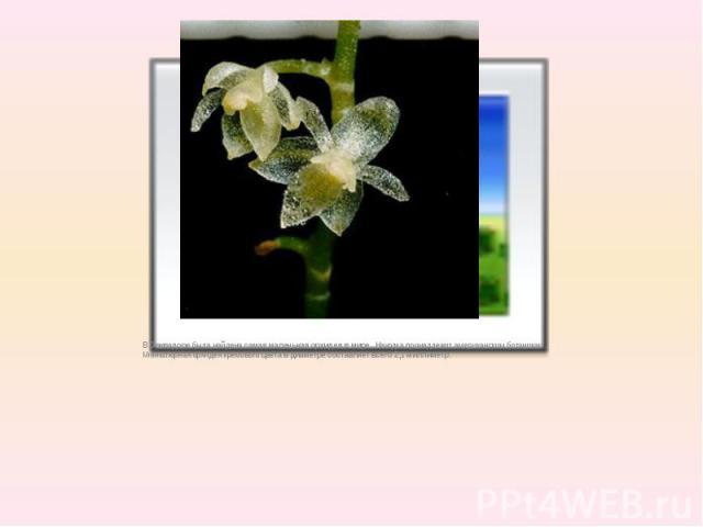 В Эвквадоребыла найденасамая маленькая орхидея в мире. Находка принадлежит американским ботаникам. Миниатюрная орхидея кремового цветав диаметре составляет всего 2,1 миллиметр.