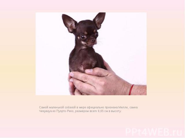 Самой маленькой собакой в мире официально признана Милли, самка Чихуахуа из Пуэрто-Рико, размером всего 9,65 см в высоту.