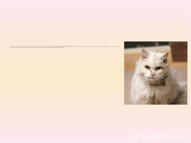 В Великобритании, графстве Ластершир, в небольшом городке под названием Тернби, живет самая старая кошка в мире. 49 летний Квентин Шоу, утверждает что его питомцу, по кличке Блэки, исполнится в январе24 года, если эту цифру перевести в «человечески…