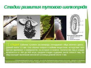 Стадии развития тутового шелкопряда 1 стадия Бабочка тутового шелкопряда отклады