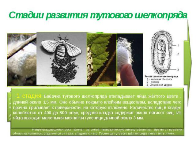 Стадии развития тутового шелкопряда 1 стадия Бабочка тутового шелкопряда откладывает яйца жёлтого цвета , длиной около 1,5 мм. Оно обычно покрыто клейким веществом, вследствие чего прочно прилипает к поверхности, на которую отложено. Количество яиц …