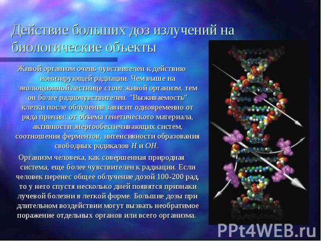 Действие больших доз излучений на биологические объекты Живой организм очень чувствителен к действию ионизирующей радиации. Чем выше на эволюционной лестнице стоит живой организм, тем он более радиочувствителен.