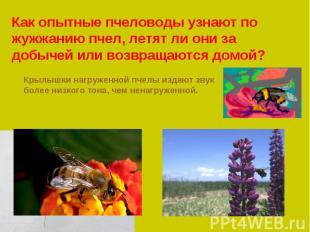 Как опытные пчеловоды узнают по жужжанию пчел, летят ли они за добычей или возвр