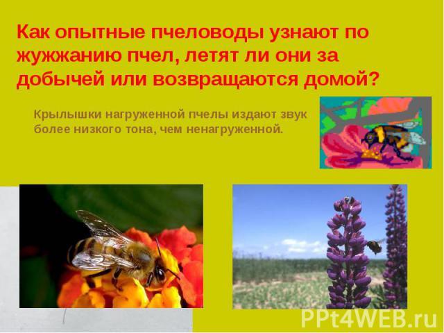 Как опытные пчеловоды узнают по жужжанию пчел, летят ли они за добычей или возвращаются домой?Крылышки нагруженной пчелы издают звук более низкого тона, чем ненагруженной.