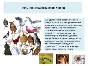 Роль процесса испарения у птиц Для уравновешивания неизбежной потери воды за счё