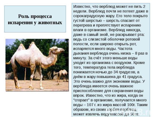 Роль процесса испарения у животныхИзвестно, что верблюд может не пить 2 недели. Верблюд почти не потеет даже в сорокаградусную жару. Его тело покрыто густой шерстью – шерсть спасает от перегрева и препятствует испарению влаги в организме. Верблюд ни…