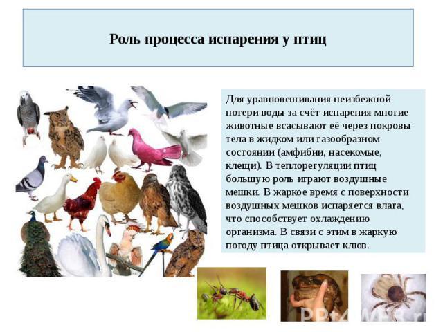 Роль процесса испарения у птиц Для уравновешивания неизбежной потери воды за счёт испарения многие животные всасывают её через покровы тела в жидком или газообразном состоянии (амфибии, насекомые, клещи). В теплорегуляции птиц большую роль играют во…