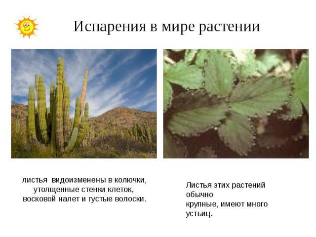 Испарения в мире растении листья видоизменены в колючки, утолщенные стенки клеток, восковой налет и густые волоски.Листья этих растений обычно крупные, имеют много устьиц.