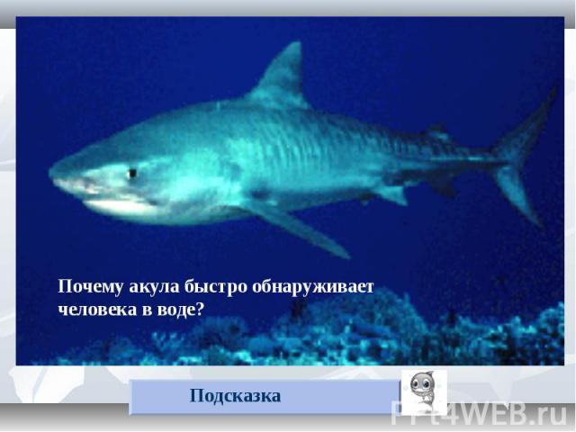 Почему акула быстро обнаруживает человека в воде? Подсказка