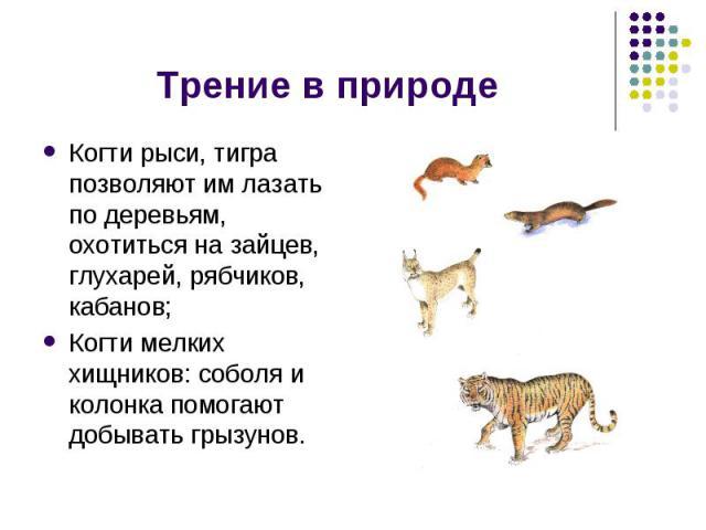Трение в природе Когти рыси, тигра позволяют им лазать по деревьям, охотиться на зайцев, глухарей, рябчиков, кабанов;Когти мелких хищников: соболя и колонка помогают добывать грызунов.